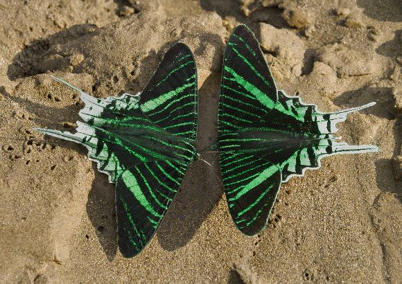 Urania de rayas verdes (Urania leilus).