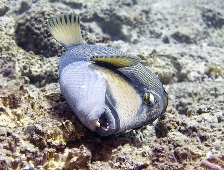 En ocasiones, los peces ballesta aprovechan la oportunidad para frotarse contra los corales duros para limpiar la piel de los parásitos.