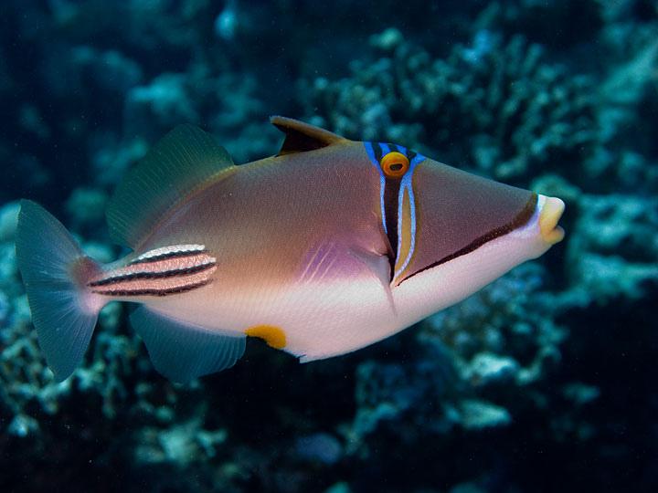 El rinecant espinoso (Rhinecanthus aculeatus) a veces se llama pez Picasso por su color geométrico.