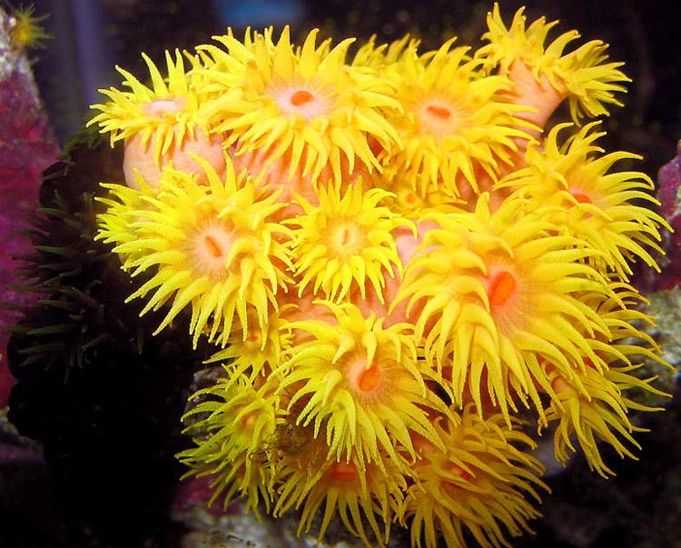 Anemonas o anemonas de mar