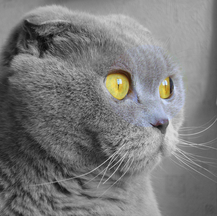 Gato Scottish Fold o Scottish Fold
