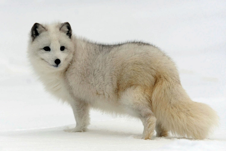 Zorro artico o zorro polar